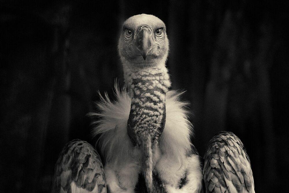 Fotografia Vulture - ANTTI VIITALA - Pittura di immagini