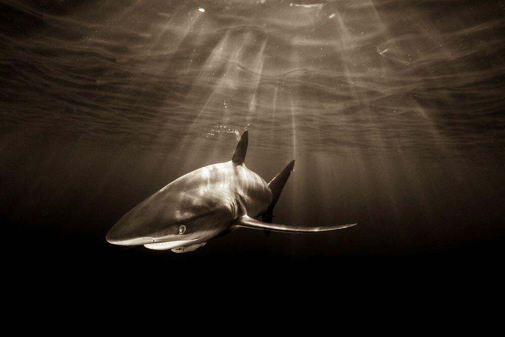 Photographie SILKIE SHARK AND AFTERNOON SUNRAYS - CHRISTIAN VIZL - Tableau photo
