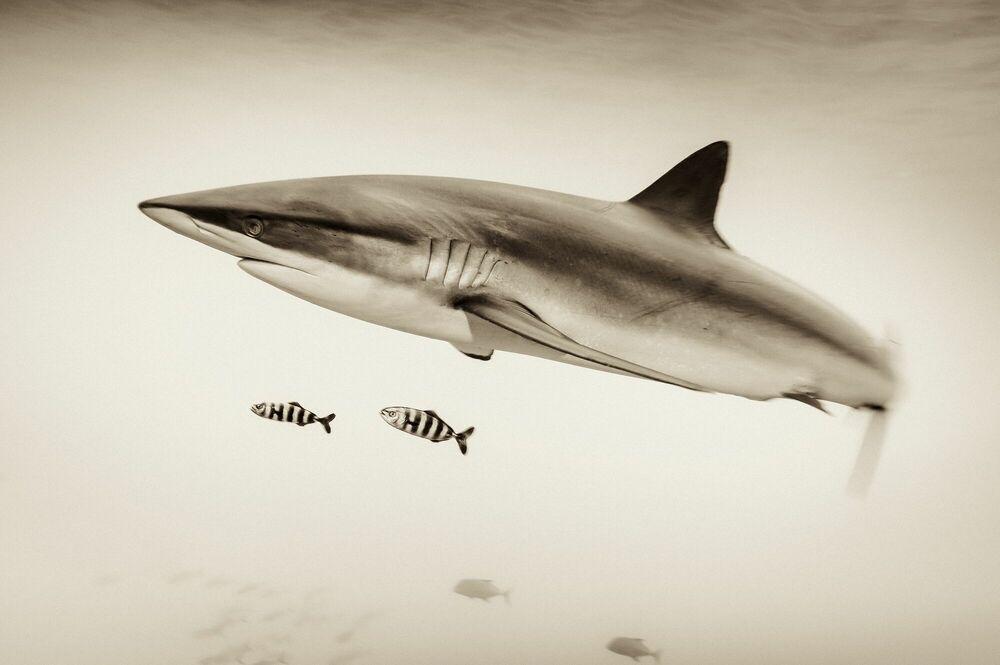 Photographie SILKIE SHARK AND PILOT FISH AT SAN BENEDICTO - CHRISTIAN VIZL - Tableau photo