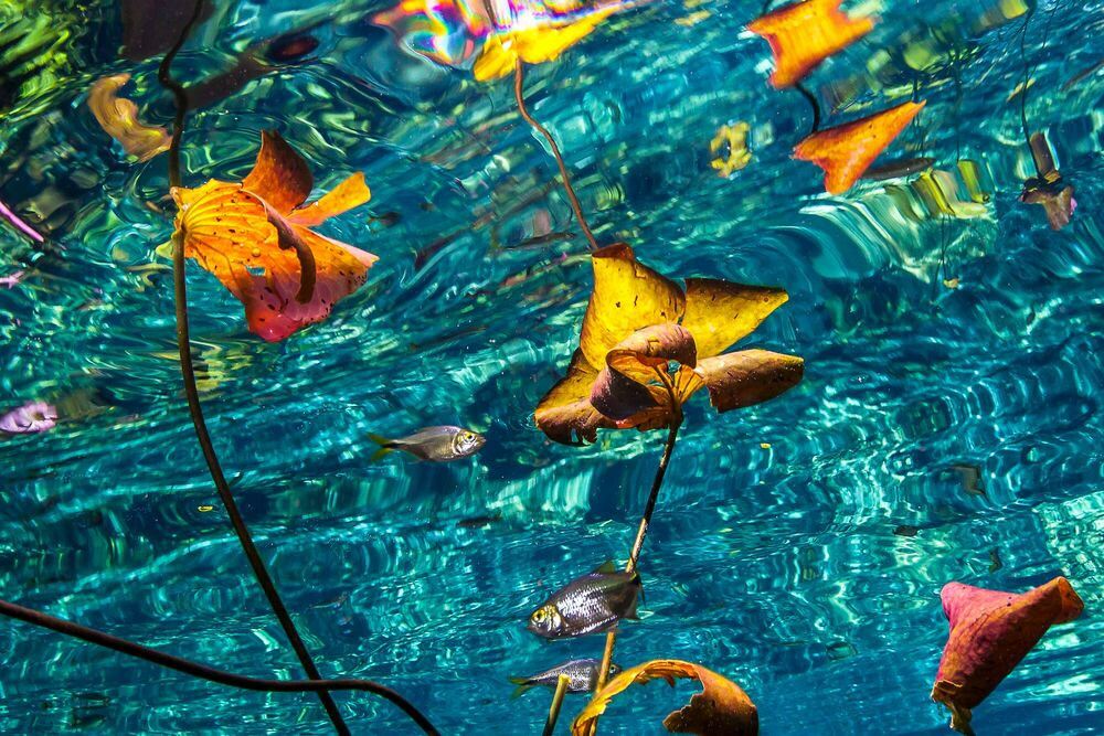 Photographie Water lilies and reflections at cenote Nicte Ha - CHRISTIAN VIZL - Tableau photo