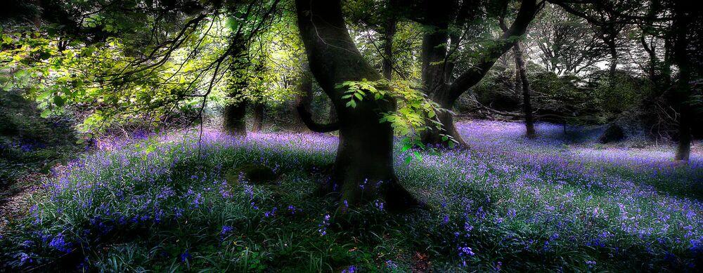 Fotografie Bluebell Wood -  DAVE - Bildermalerei