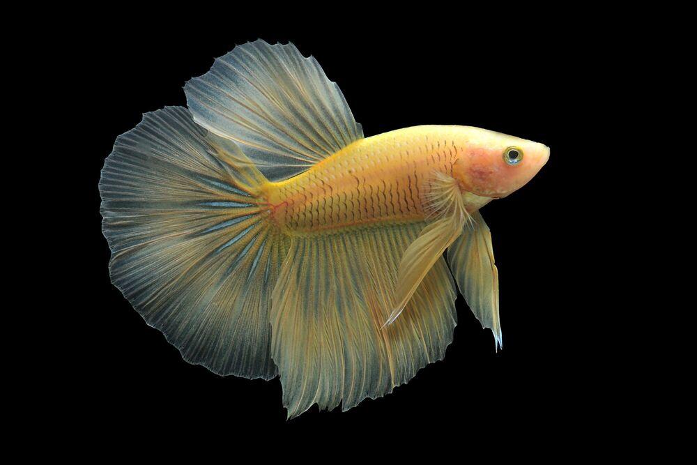 Fotografia YELLOW BETTA FISHS - DHIKY ADITYA - Pittura di immagini