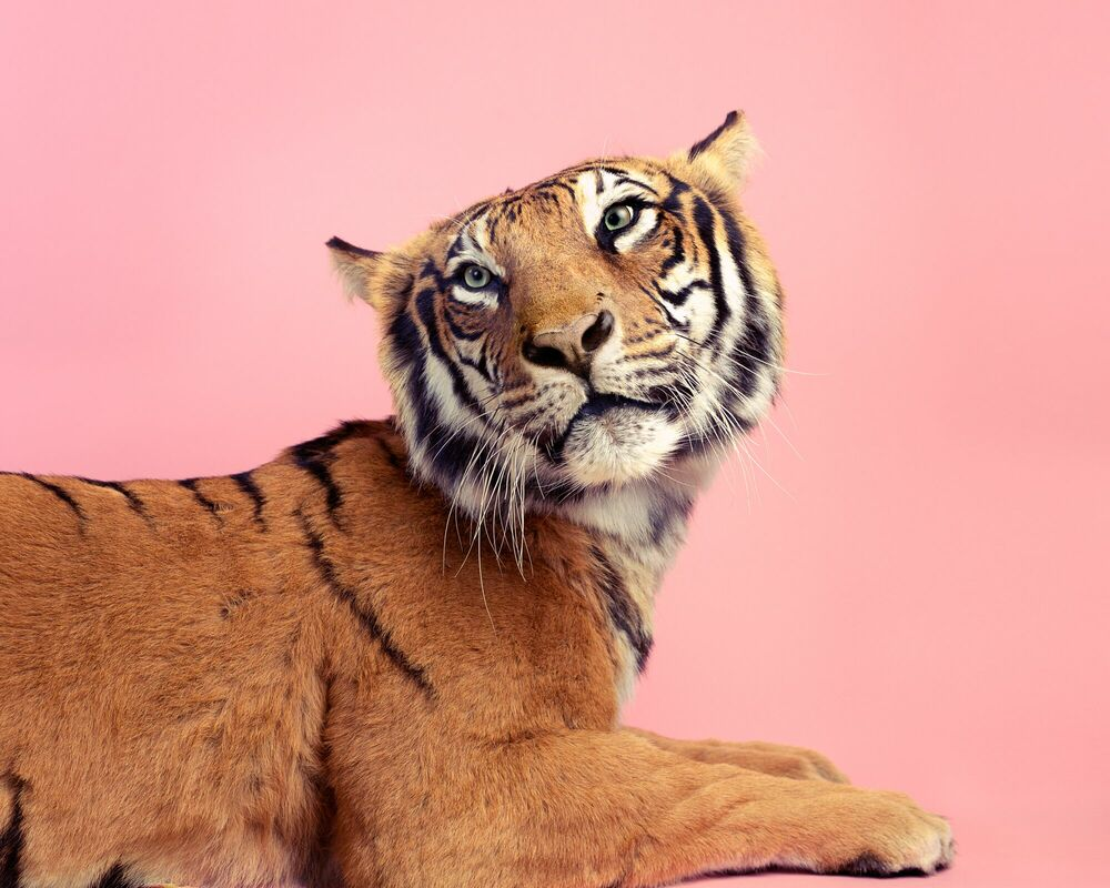 Photograph CANDY TIGER - GUILLAUME DUTREIX - Picture painting