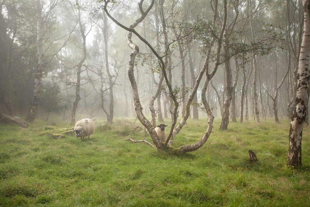 Fotografia Sheep in the woods - James Mills - Pittura di immagini