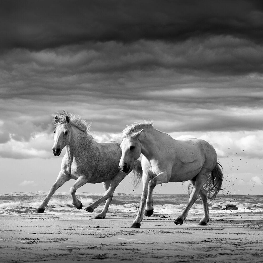 Fotografia Two stallions playing - JONATHAN CHRITCHLEY - Pittura di immagini