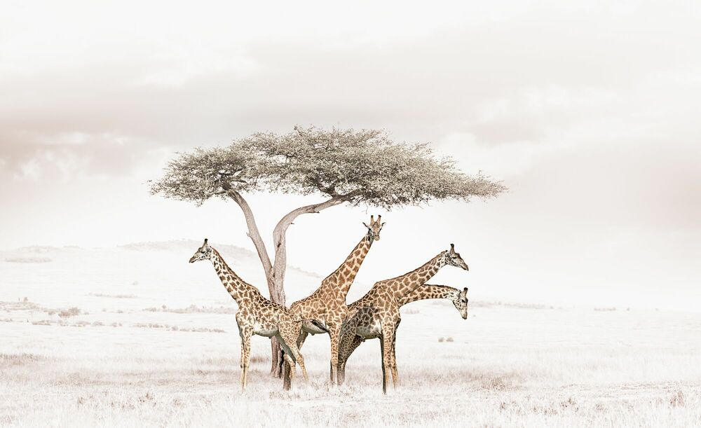 Photographie GATHERING GIRAFFES - KLAUS TIEDGE - Tableau photo