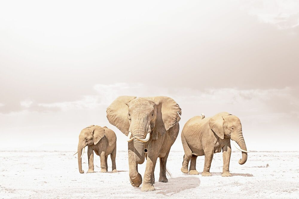 Photographie LEADING ELEPHANT - KLAUS TIEDGE - Tableau photo