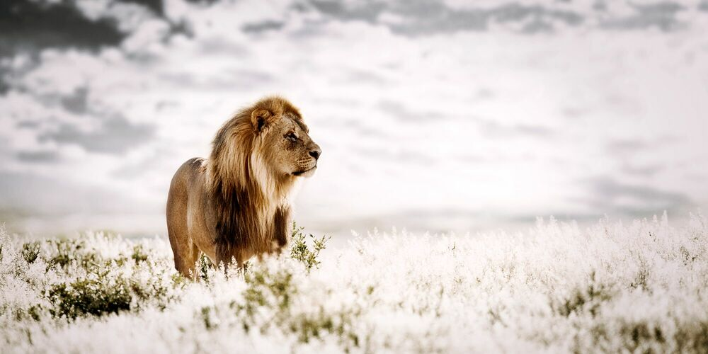 Photographie PRIDE OF AFRICA - KLAUS TIEDGE - Tableau photo
