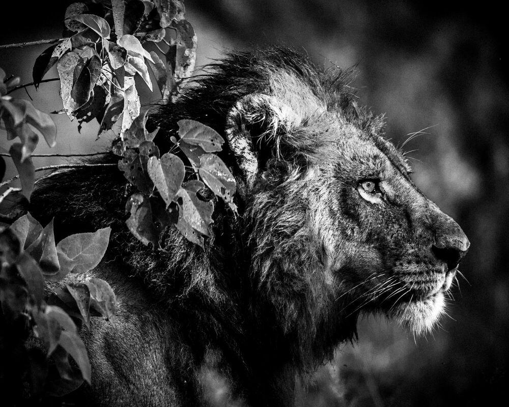 Fotografia BEFORE THE KILL - LAURENT BAHEUX - Pittura di immagini