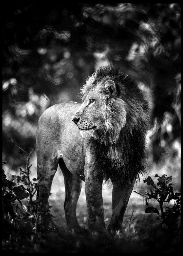Fotografie Contemplative Lion - LAURENT BAHEUX - Bildermalerei