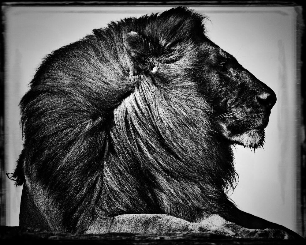 Fotografia CRINIÈRE DE LION - LAURENT BAHEUX - Pittura di immagini