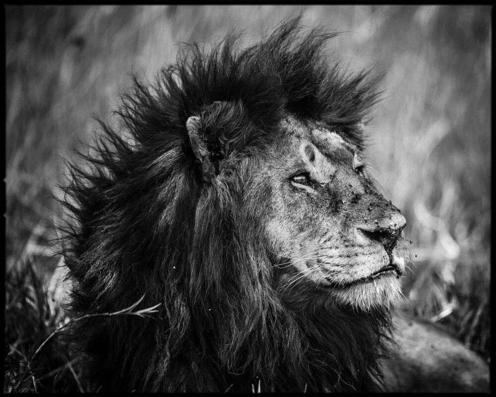 Photograph Dreamy Lion - LAURENT BAHEUX - Picture painting