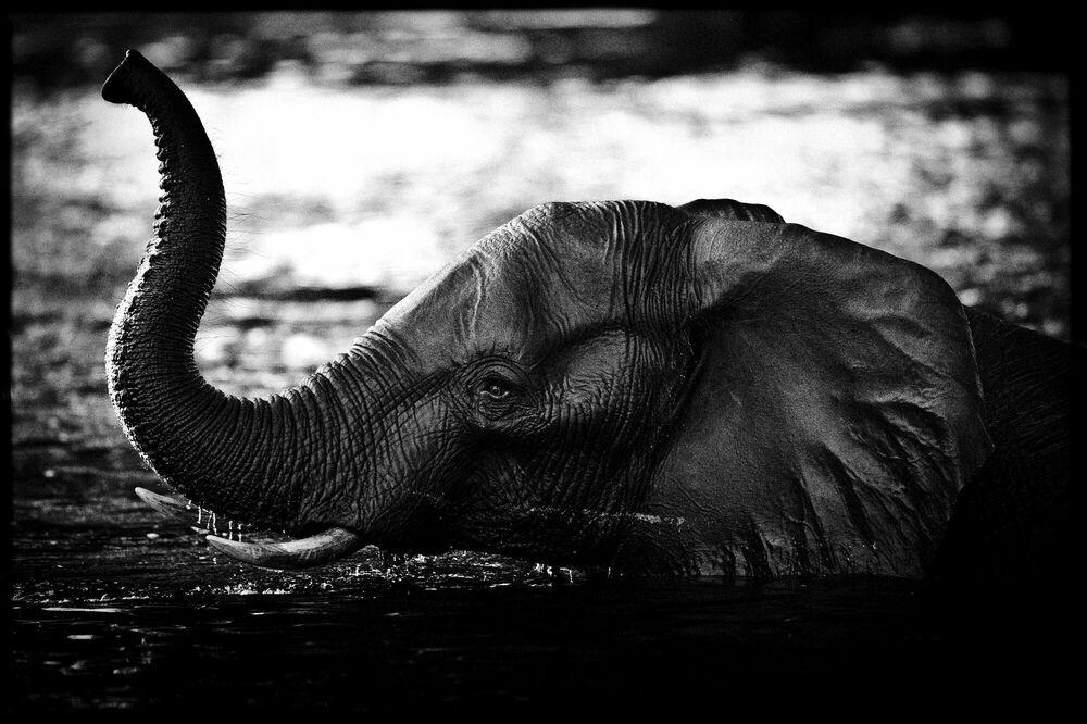 Photographie Elephant Crossing the River - LAURENT BAHEUX - Tableau photo
