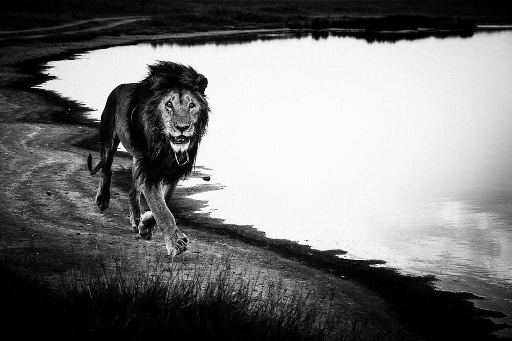 Fotografie FREE LION IN THE WILD - LAURENT BAHEUX - Bildermalerei