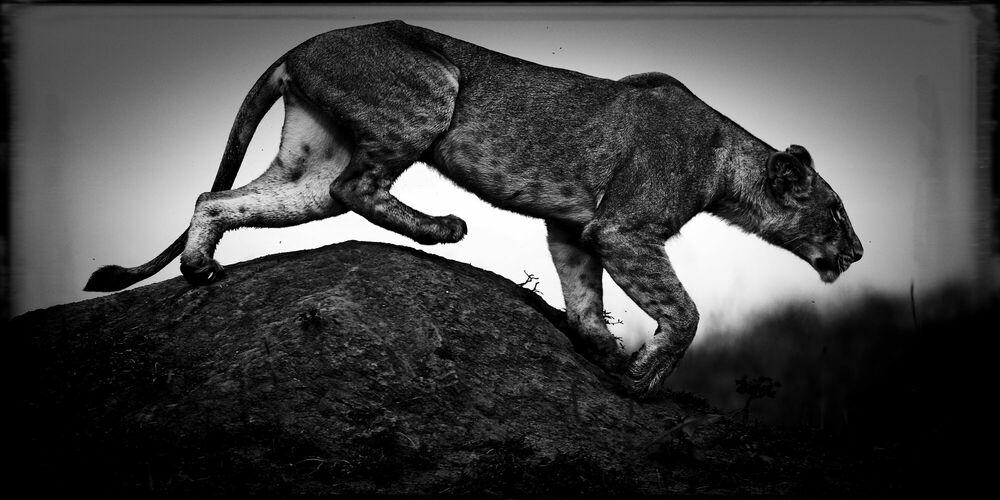 Fotografie Hunting Lioness - LAURENT BAHEUX - Bildermalerei