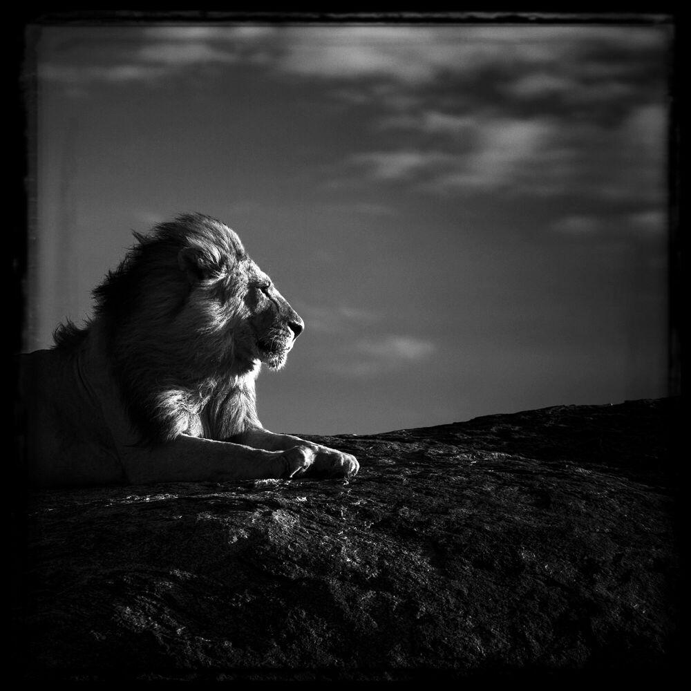 Fotografia Lion en son royaume - LAURENT BAHEUX - Pittura di immagini