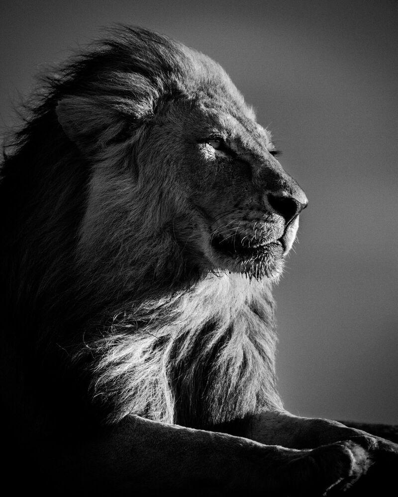 Fotografia LION IN COMPLIANCE 2 - LAURENT BAHEUX - Pittura di immagini