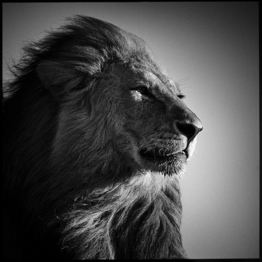 Photograph Lion in Compliance - LAURENT BAHEUX - Picture painting