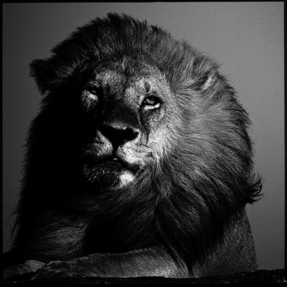 Fotografia Lion in the Twilight - LAURENT BAHEUX - Pittura di immagini