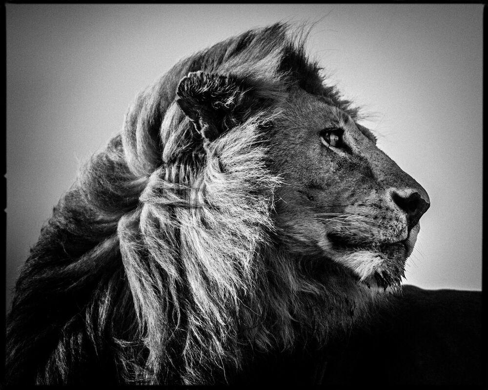 Fotografia Lion in the Wind 3 - LAURENT BAHEUX - Pittura di immagini