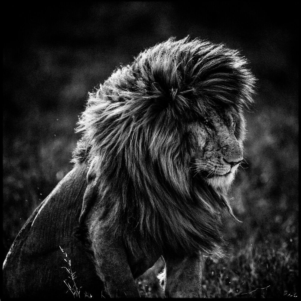 Fotografia Lion in the Wind 4 - LAURENT BAHEUX - Pittura di immagini