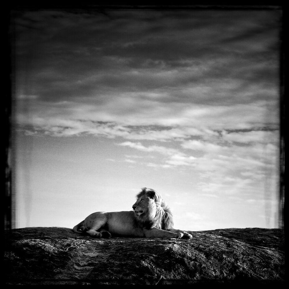 Fotografia Lion sur son rocher - LAURENT BAHEUX - Pittura di immagini