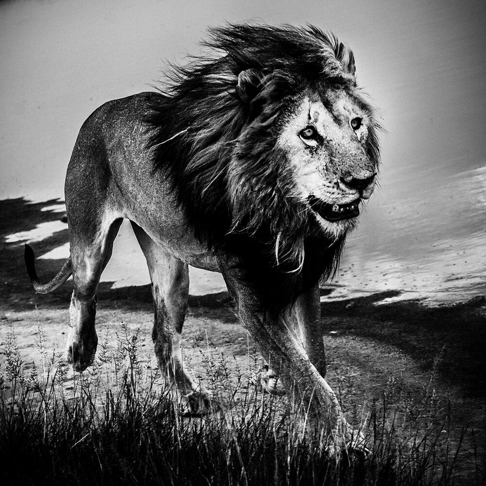 Fotografia LION WALKING ALONE 1 - LAURENT BAHEUX - Pittura di immagini