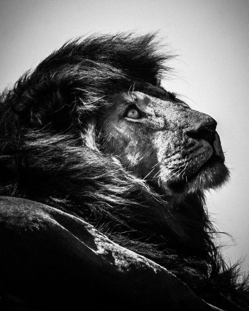 Photograph LION WATCHING THE SKY - LAURENT BAHEUX - Picture painting