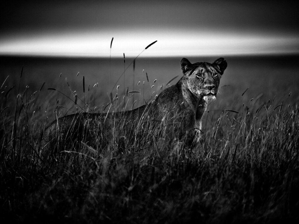 Fotografia LIONESS IN THE GRASS - LAURENT BAHEUX - Pittura di immagini