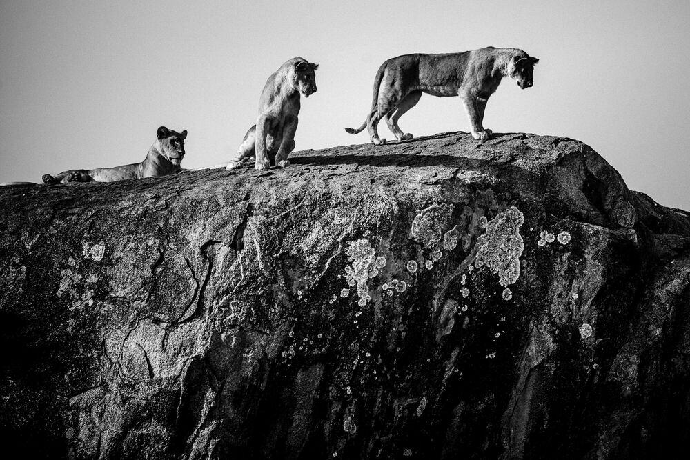 Fotografie Meeting of lions on the big rock, Tanzania 2015 - LAURENT BAHEUX - Bildermalerei