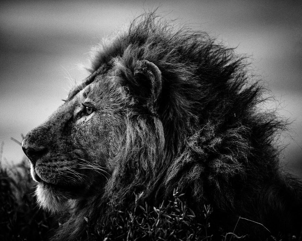 Photograph STRONG AND SWEET LION, TANZANIA 2015 - LAURENT BAHEUX - Picture painting