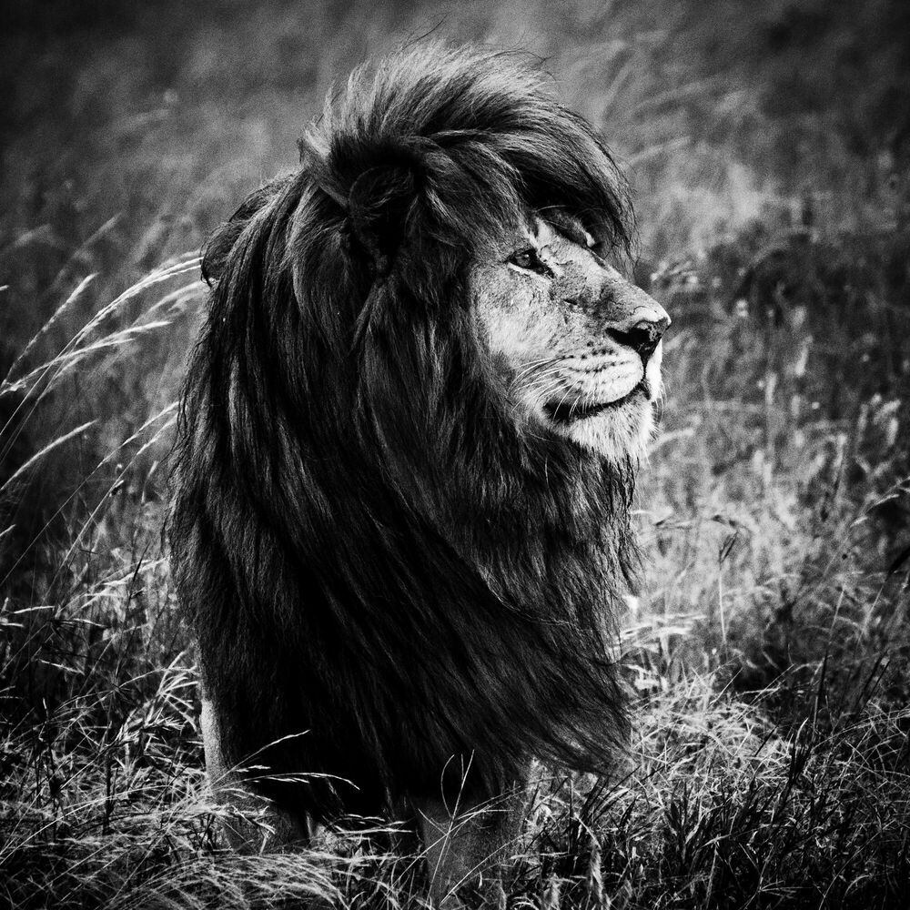 Fotografia THE BLACK MANED LION 1 - LAURENT BAHEUX - Pittura di immagini