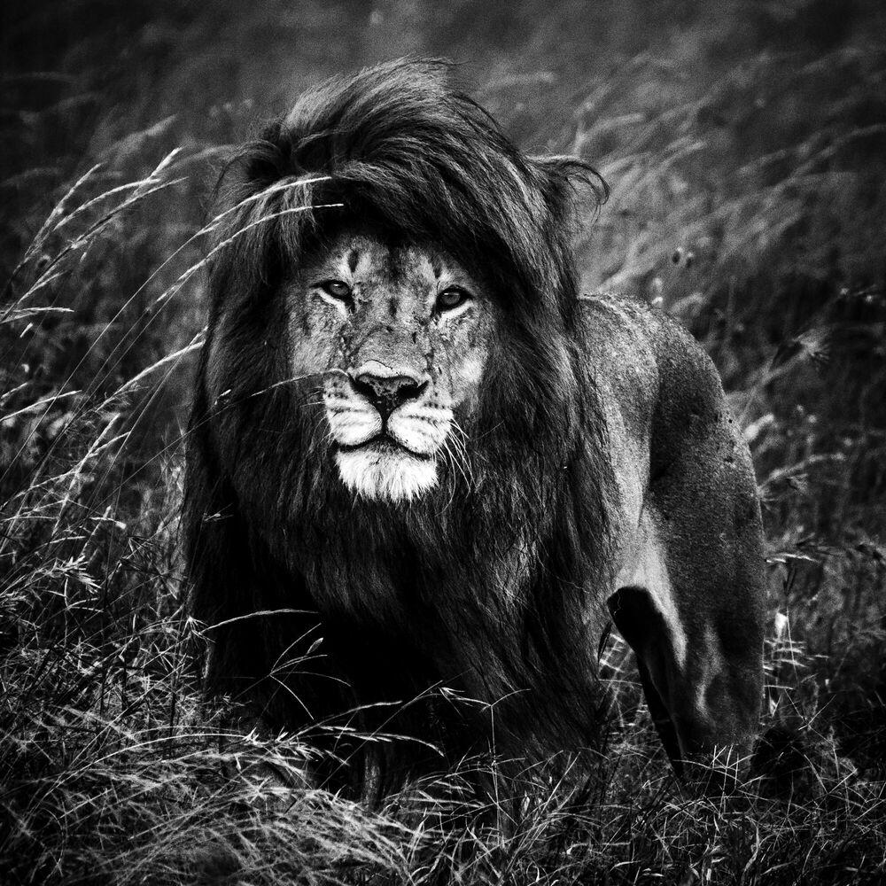 Photographie THE BLACK MANED LION 2 - LAURENT BAHEUX - Tableau photo