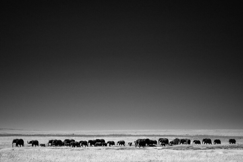 Fotografia THE ELEPHANTS LAST GREAT JOURNEY I, KENYA 2015 - LAURENT BAHEUX - Pittura di immagini