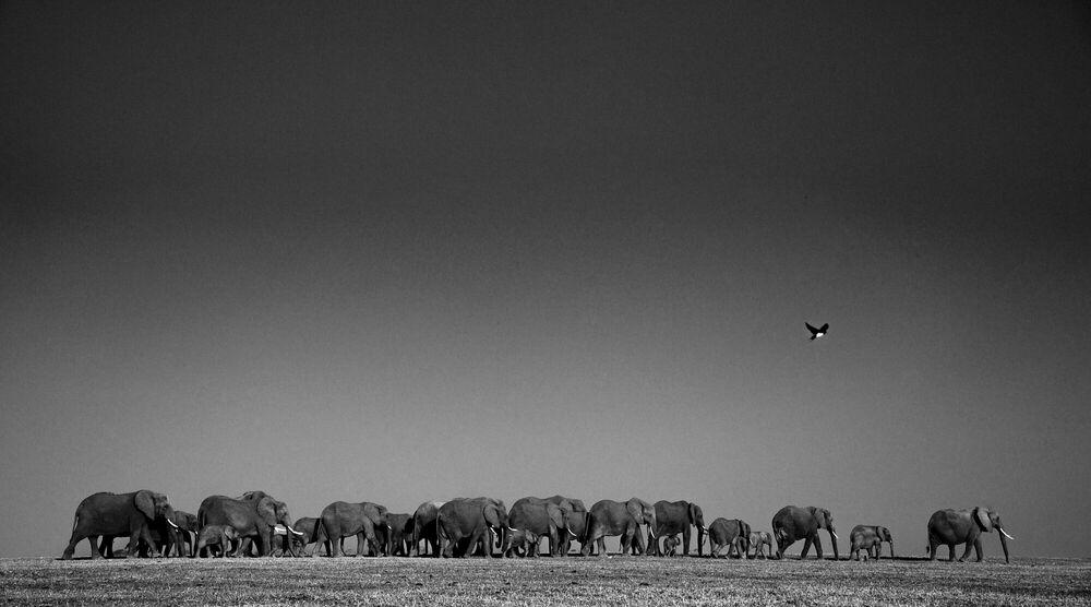 Photograph THE ELEPHANTS LAST GREAT JOURNEY II, KENYA 2015 - LAURENT BAHEUX - Picture painting