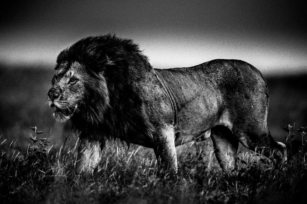 Fotografie THE SOFT POWER OF THE LION - LAURENT BAHEUX - Bildermalerei