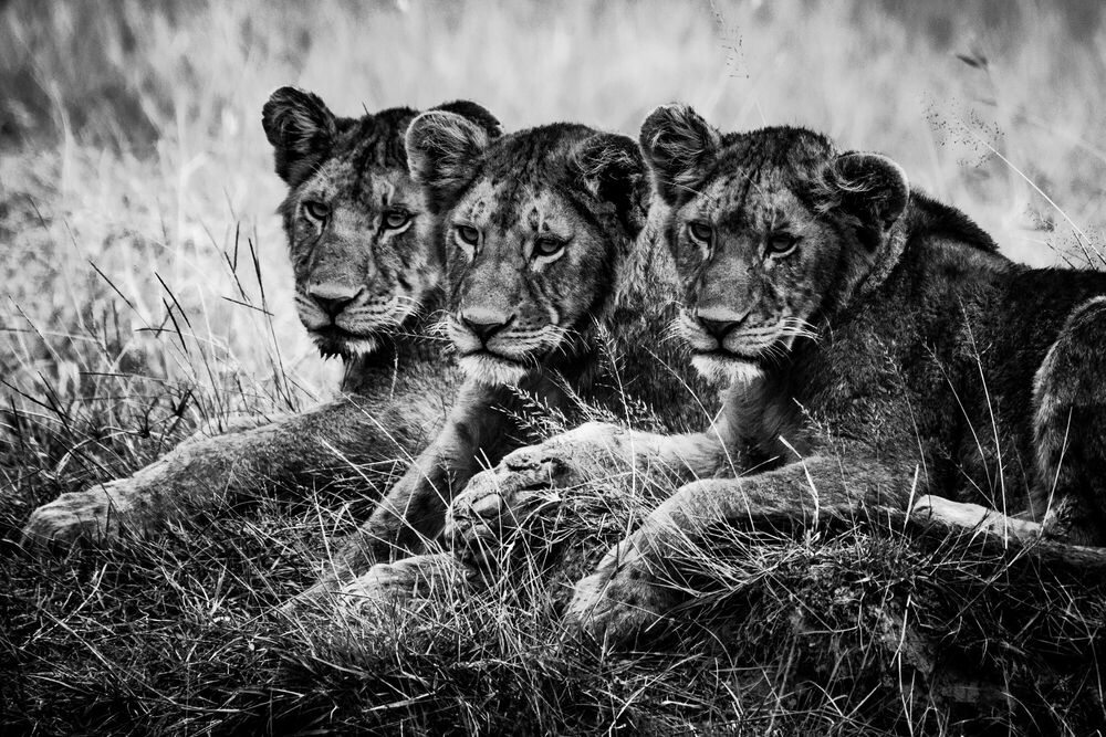 Photograph THREE LION CUBS WATCHING THE PLAIN - LAURENT BAHEUX - Picture painting