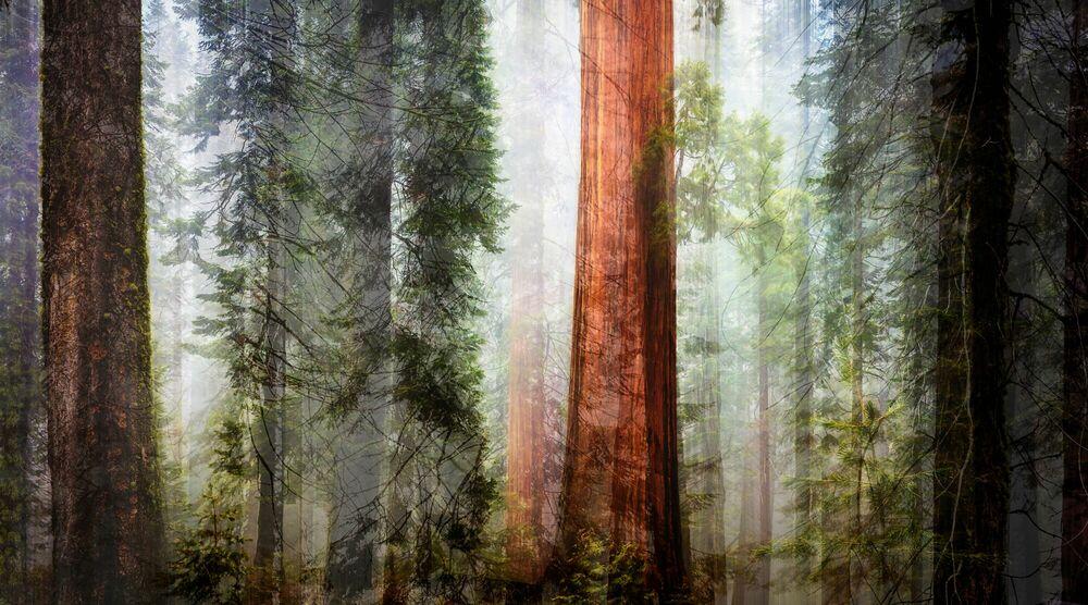 Fotografie GIANT FOREST I - LAURENT DEQUICK - Bildermalerei
