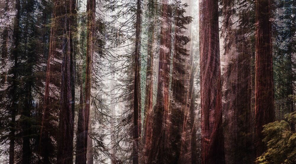 Photographie GIANT FOREST II - LAURENT DEQUICK - Tableau photo