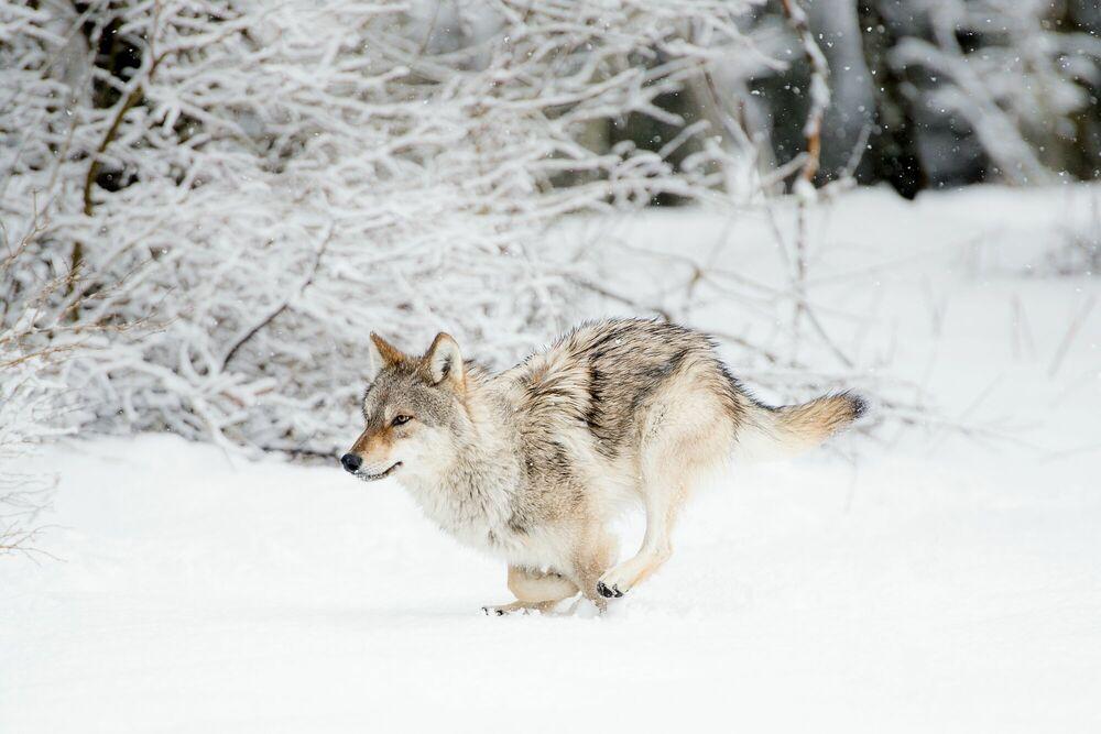 Photograph La course du loup dans la neige - LUDOVIC SIGAUD - Picture painting