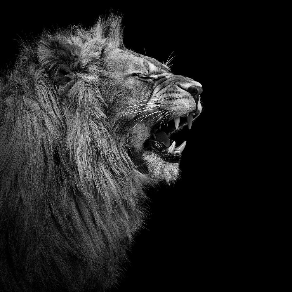 Fotografia YOUNG LION I - LUKAS HOLAS - Pittura di immagini