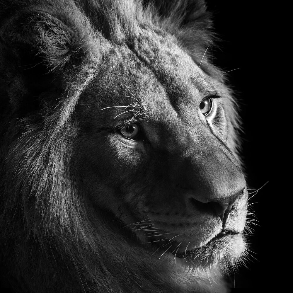 Photographie YOUNG LION II - LUKAS HOLAS - Tableau photo