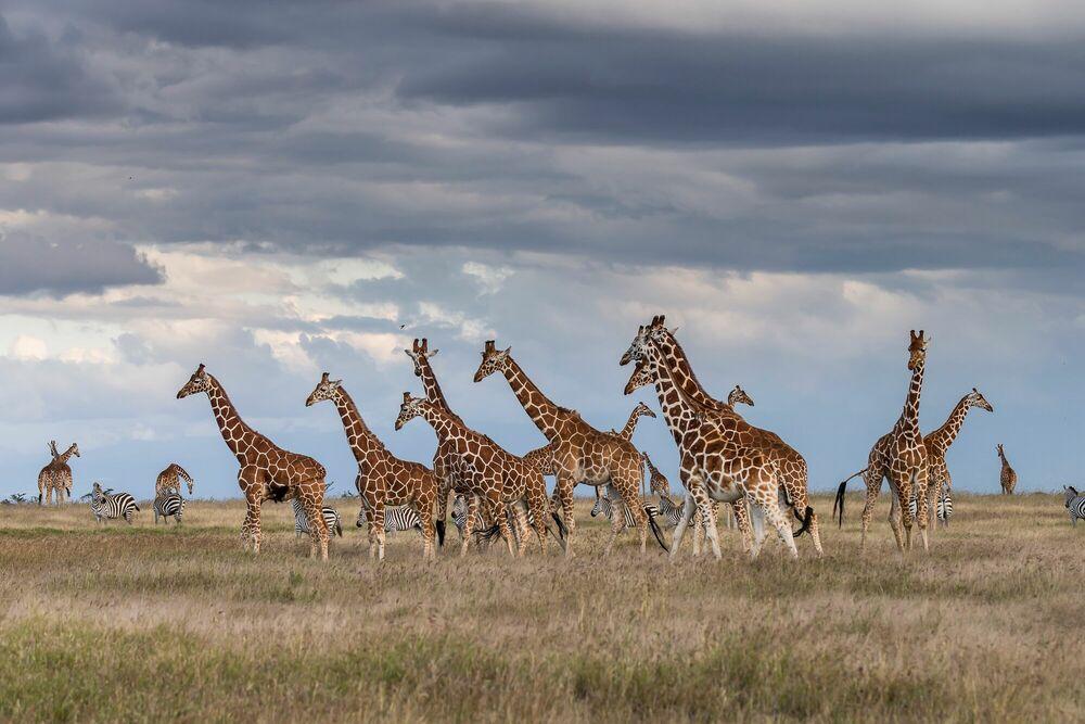 Photographie Giraffe Assembly - MICHAEL POLIZA - Tableau photo