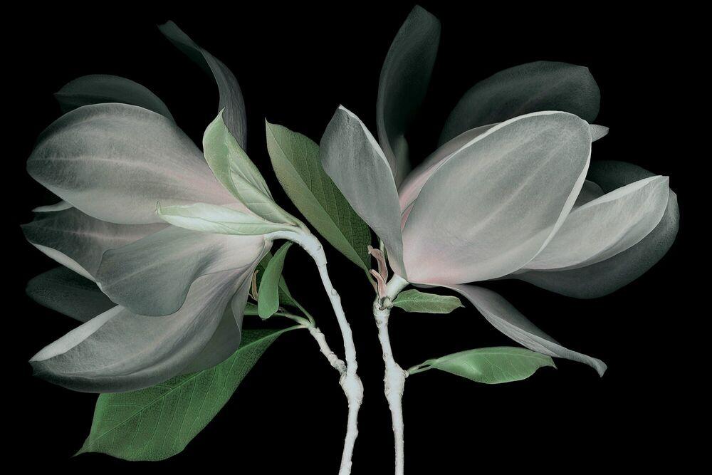 Fotografie FLEUR DE MAGNOLIA - MICHEL GANTNER - Bildermalerei