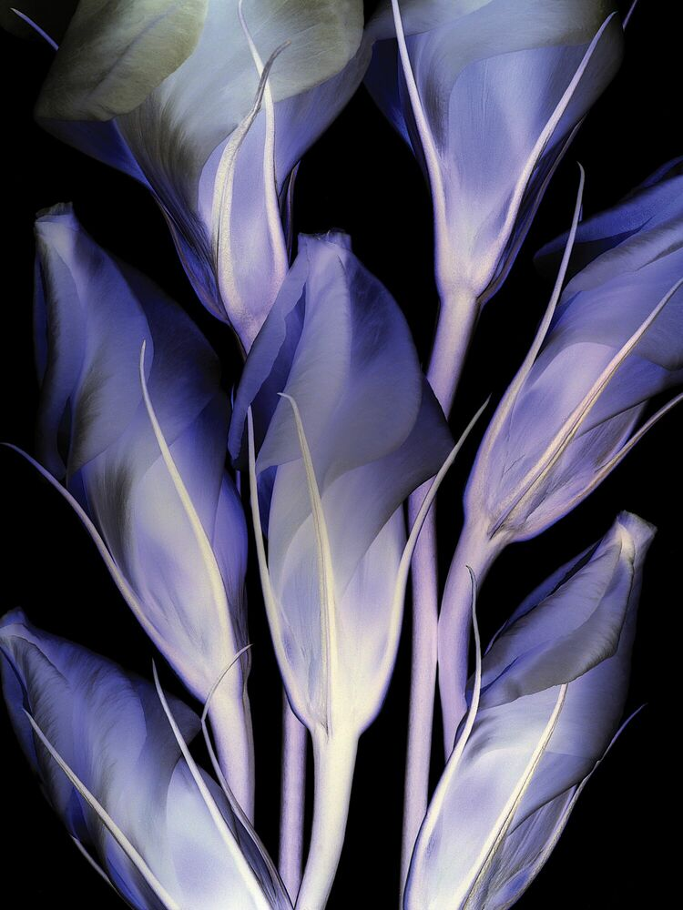 Fotografie Lysianthus - MICHEL GANTNER - Bildermalerei