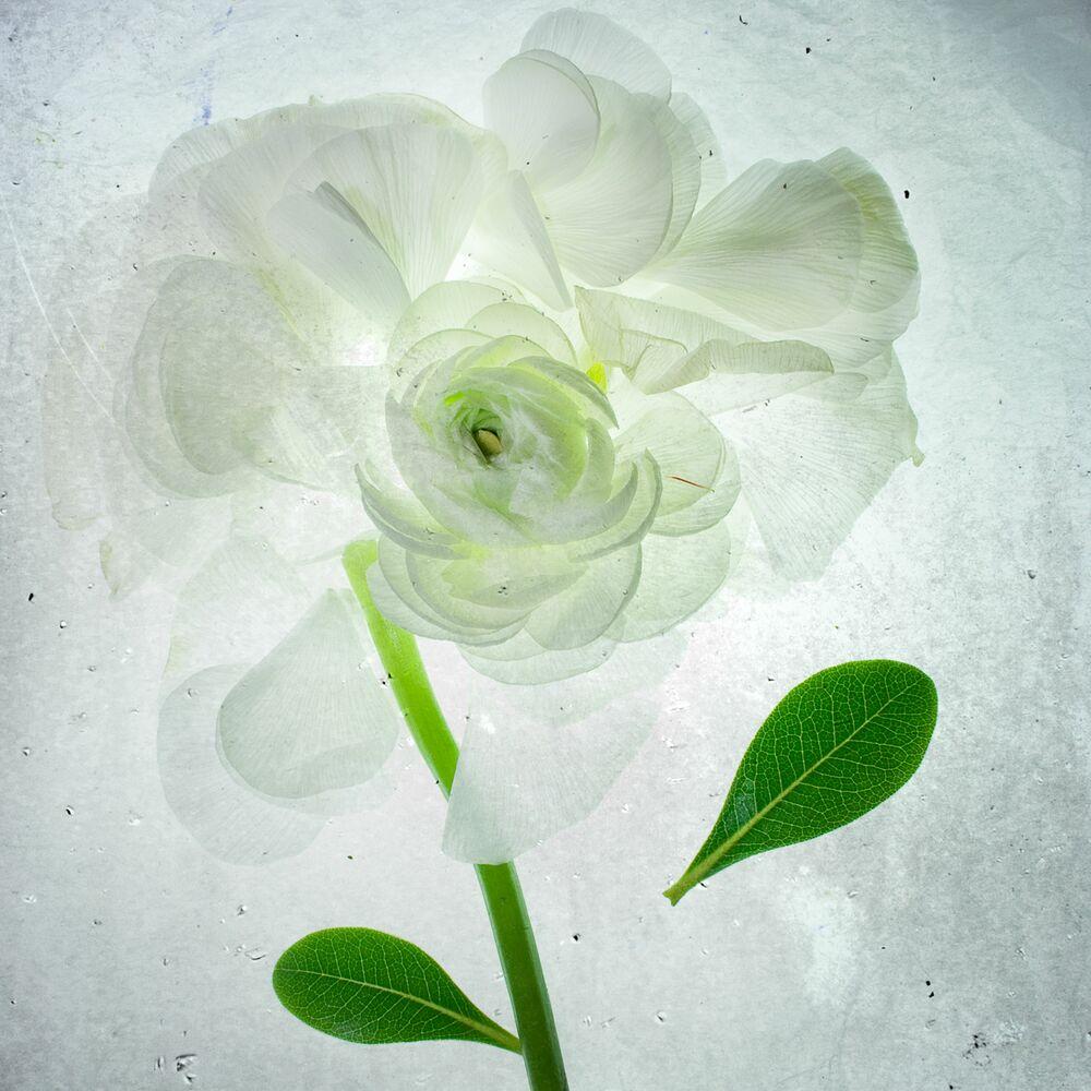 Fotografia White rose x-ray - MINA TESLARU - Pittura di immagini
