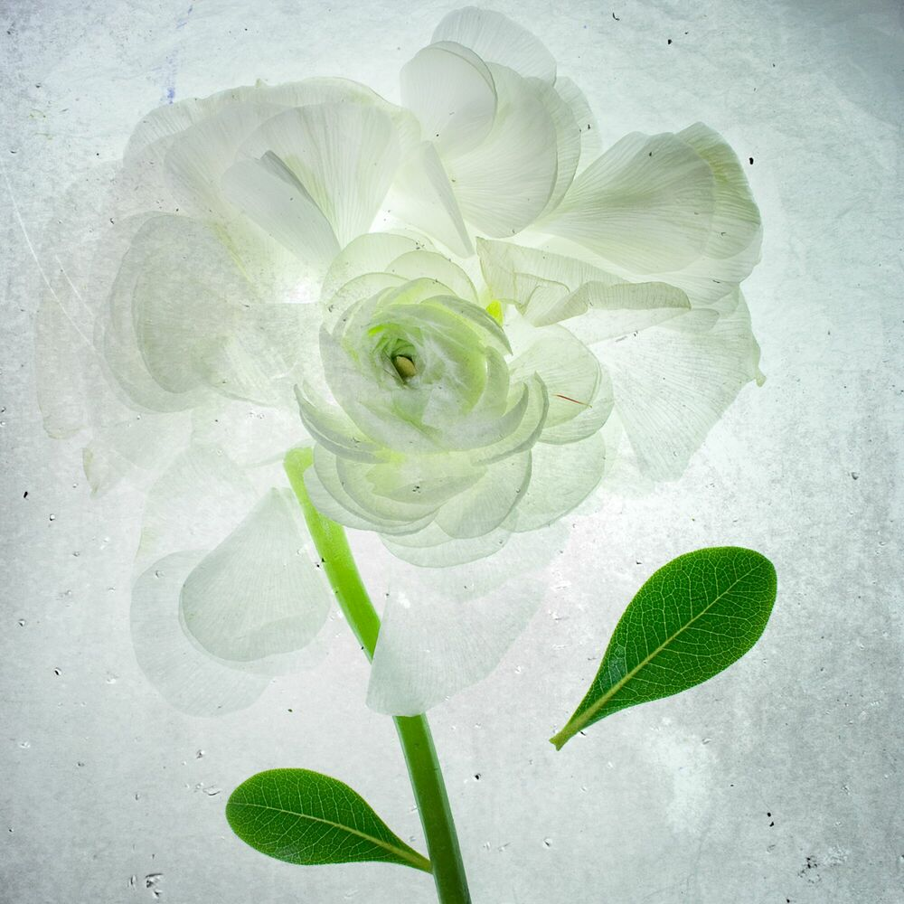 Photograph White rose x-ray - MINA TESLARU - Picture painting