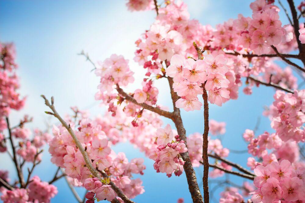 Fotografie Sakura bloom - NICOLAS JACQUET - Bildermalerei
