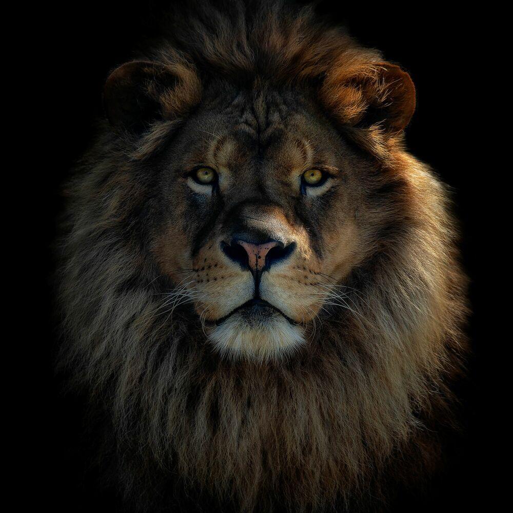 Photographie LION KING - PEDRO JARQUE KREBS - Tableau photo