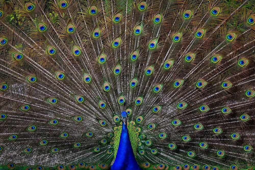 Photograph PEACOCK - PEDRO JARQUE KREBS - Picture painting